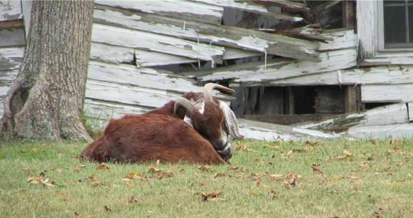 4981 george west road goat.jpg